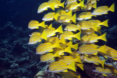 softcoral: blue-striped snappers