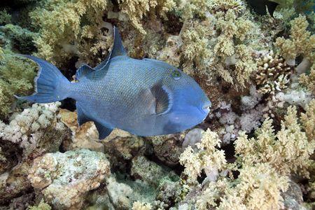 triggerfish: blue triggerfish