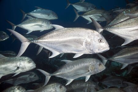 softcoral: giant trevally
