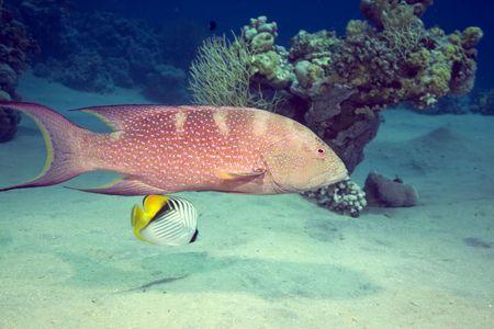 lyretail: Lyretail grouper Stock Photo
