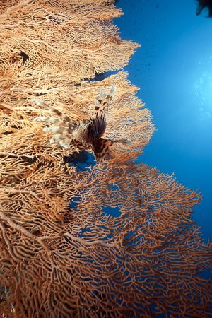 seafan: lionfish and seafan