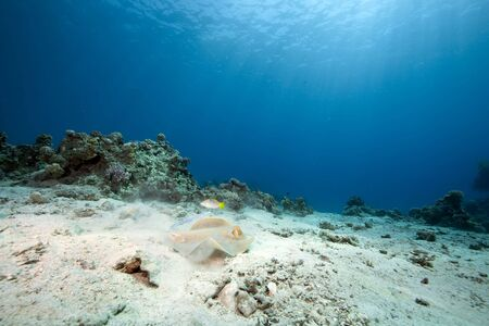 bluespotted: ocean and bluespotted stingray Stock Photo