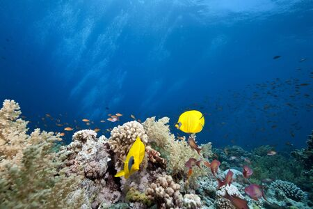 masked butterflyfish photo