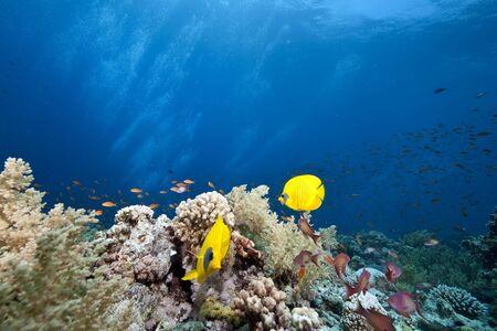 beneath: masked butterflyfish