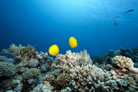 butterflyfish: ocean and  butterflyfish Stock Photo