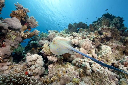 bluespotted: ocean bluespotted stingray Stock Photo