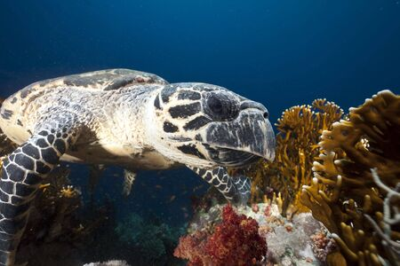 ocean and hawksbill turtle Stock Photo - 5883618
