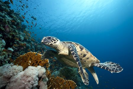 ocean and hawksbill turtle photo