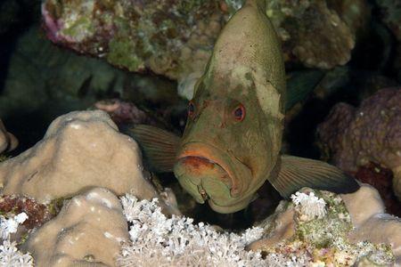 cernia: redmouth Epinephelinae Archivio Fotografico