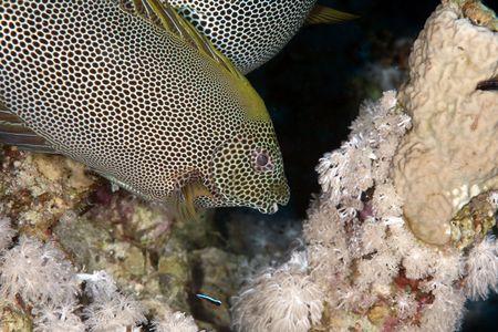 rabbitfish: stellate rabbitfish Stock Photo