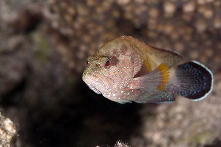 cernia: Epinephelinae