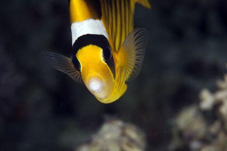 butterflyfish: raccoon butterflyfish