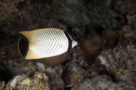 butterflyfish: chevron butterflyfish Stock Photo