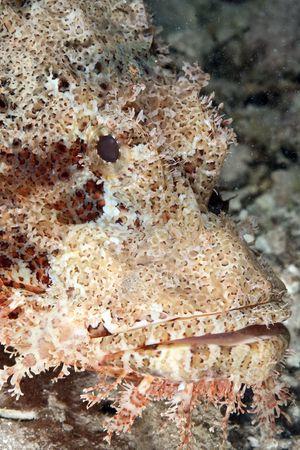 scorpionfish: smallscale scorpionfish