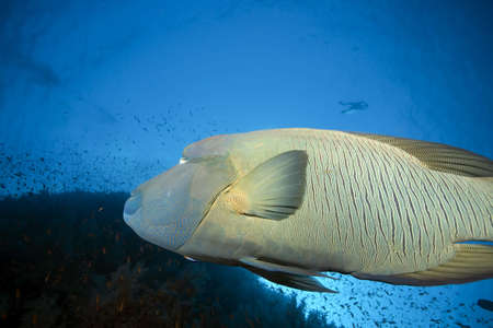 napoleon fish: napoleon wrasse and ocean
