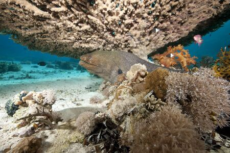moray: giant moray and coral Stock Photo