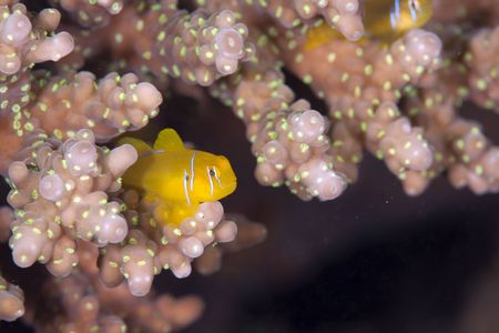goby: cedro corallo Gobiidae