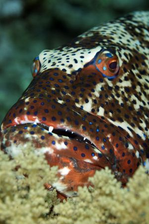 coralgrouper: coralgrouper Stock Photo