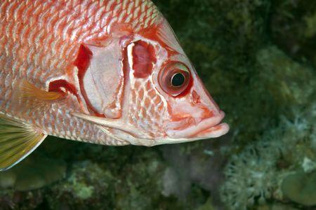 longjawed squirrelfish photo