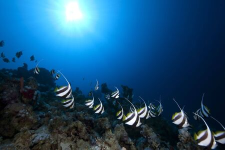 schooling: schooling bannerfish, ocean and coral