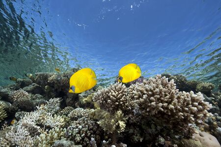 butterflyfish: butterflyfish, ocean and coral Stock Photo