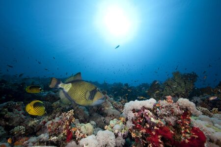 titan triggerfish,ocean and sun photo