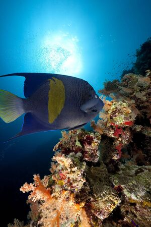 yellowbar angelfish and ocean photo