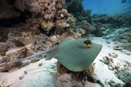 bluespotted: bluespotted stingray and ocean