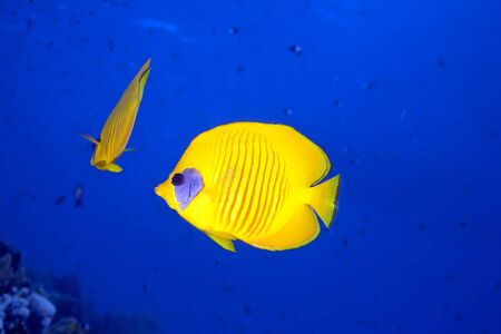 butterflyfish and ocean photo