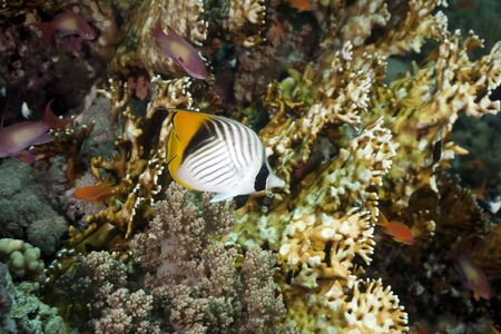 butterflyfish: threadfin butterflyfish and ocean