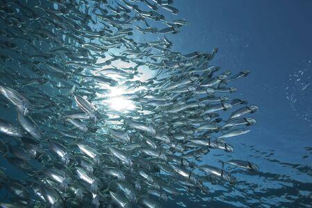 striped mackerel and ocean