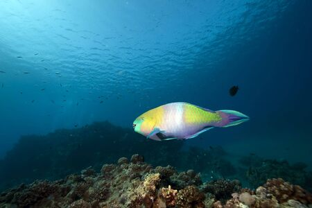 parrotfish: ocean, coral and parrotfish