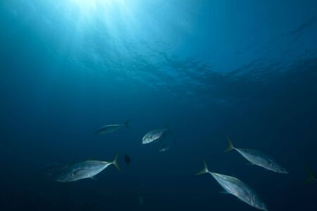 Orangespotted trevally taken in the Red Sea photo