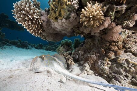 bluespotted: Bluespotted stingray taken in the Red Sea. Stock Photo