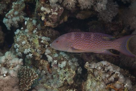 lyretail: Lyretail grouper taken in the Red Sea.