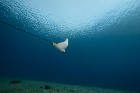 spotted eagle ray and ocean photo