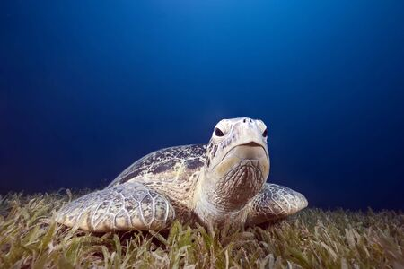 green turtle and sea grass photo