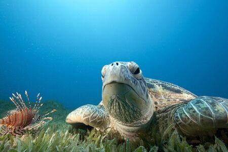 tortuga verde y hierba de mar
