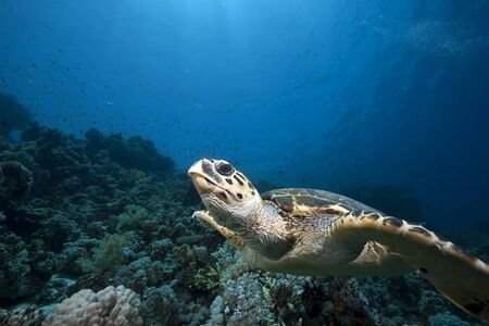 hawksbill turtle and ocean photo
