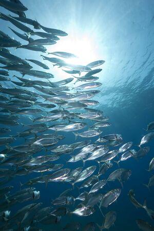mackerel school feeding photo