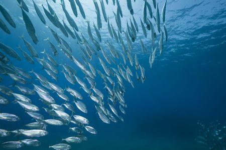 makreel school voeding Stockfoto