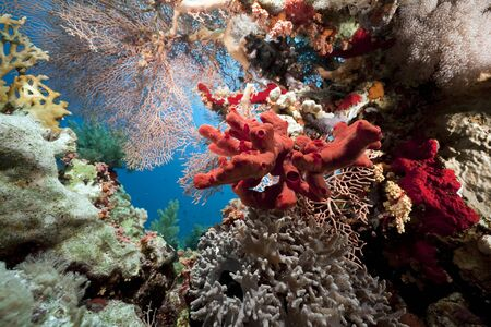 Coral and fish in the Red Sea photo