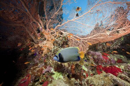 hard coral: seafan, ocean and fish taken in the Red Sea.