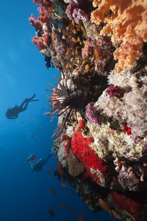 lionfish,ocean and divers taken in the Red Sea. Stock Photo - 6908206