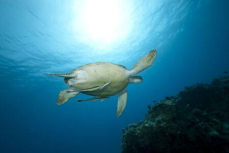 tortue verte: femelle tortue verte nager dans la mer rouge.  Banque d'images