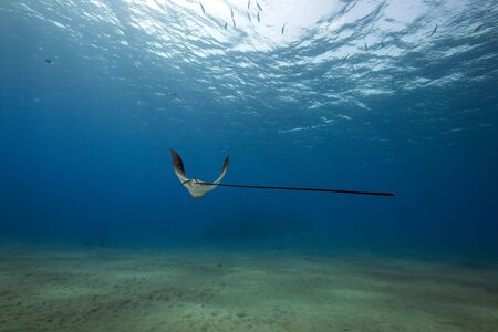 eagle ray, sun and ocean in the Red Sea. Zdjęcie Seryjne