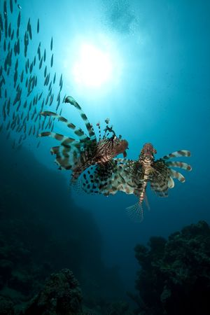 lionfish and ocean photo