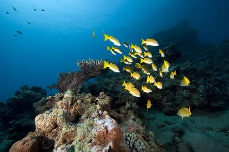 blue-striped snappers and ocean photo