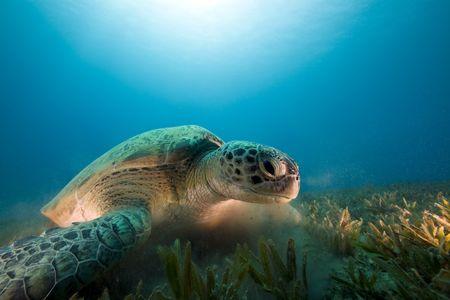 green turtle feeding on seagrass photo