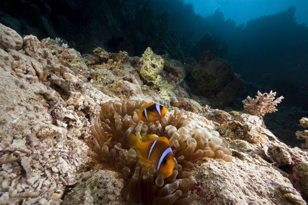 anemonefish and ocean photo